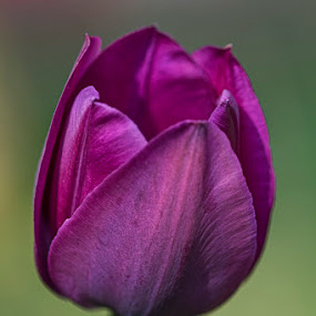 Purple Tulip by Gernot Koller - Flowers Single Flower ( purple flower, tulip, nature photography, flower, nature art,  )