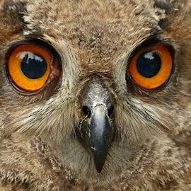 The owl´s baby by Renata Zemanová - Animals Birds ( owl, eyes )