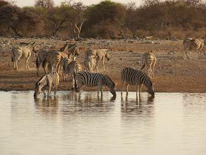 Photo: #022-Zèbres de Burchell (Burchell's zebra) à Ethosha