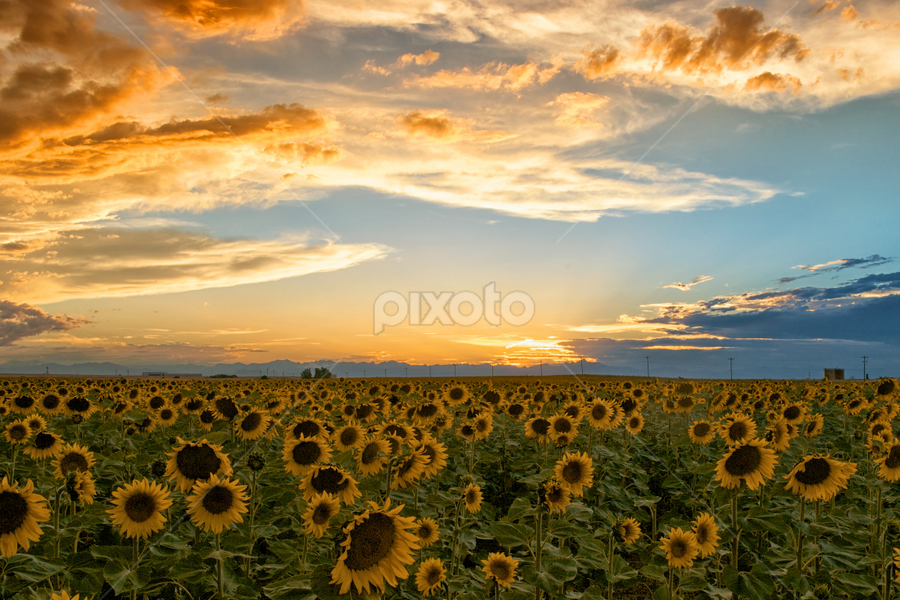 Sunflower field by Heather Diamond - Nature Up Close Gardens & Produce ( field, orange, sky, nature, sunset, green, sunflowers, scenic, yellow, beauty, flower, blossom, Hope )
