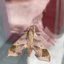 Virginia creeper sphinx moth