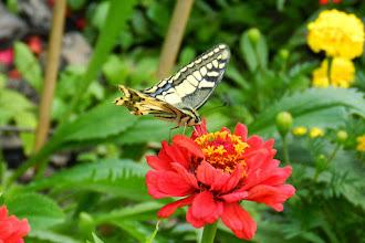 Photo: Paź królowej (Papilio machaon)