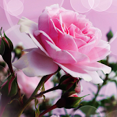 Pink rose romantic theme