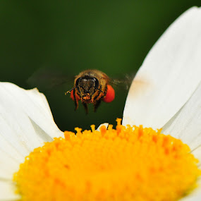 float like a bee sting like a bee by Aris Setiarso - Animals Insects & Spiders