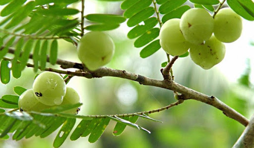 1. มะขามป้อม (Star gooseberry)