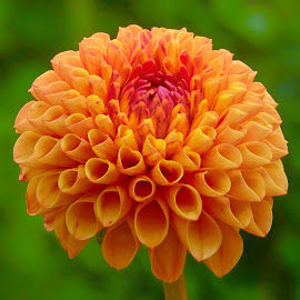 Orange Dahlia by Jim Downey - Flowers Single Flower ( orange, green, dahlia, conical, petals )