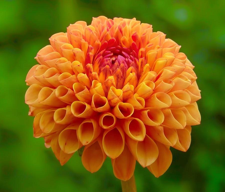 Orange Dahlia by Jim Downey - Flowers Single Flower ( orange, green, dahlia, conical, petals )