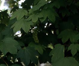 Photo: Hojas y flores de arce sicómoro (Acer pseudoplatanus)