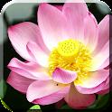 Lotus Flowers Live Wallpaper