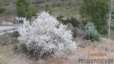 Photo: Vägen svänger och i denna dal blir det lite varmare så här ser mandelträden ut som stora bomullstussar