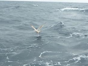 Photo: かもめがハリに付いた餌をついばんで・・・。 「えさ取り」は海の中だけでなく、上にもいる!