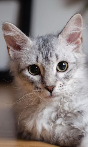 Cute Cat Live Wallpaper: fondos de pantalla hd capturas de pantalla 1