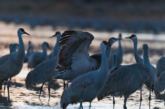 Photo: Sandhill cranes gabbing; Bosque del Apache