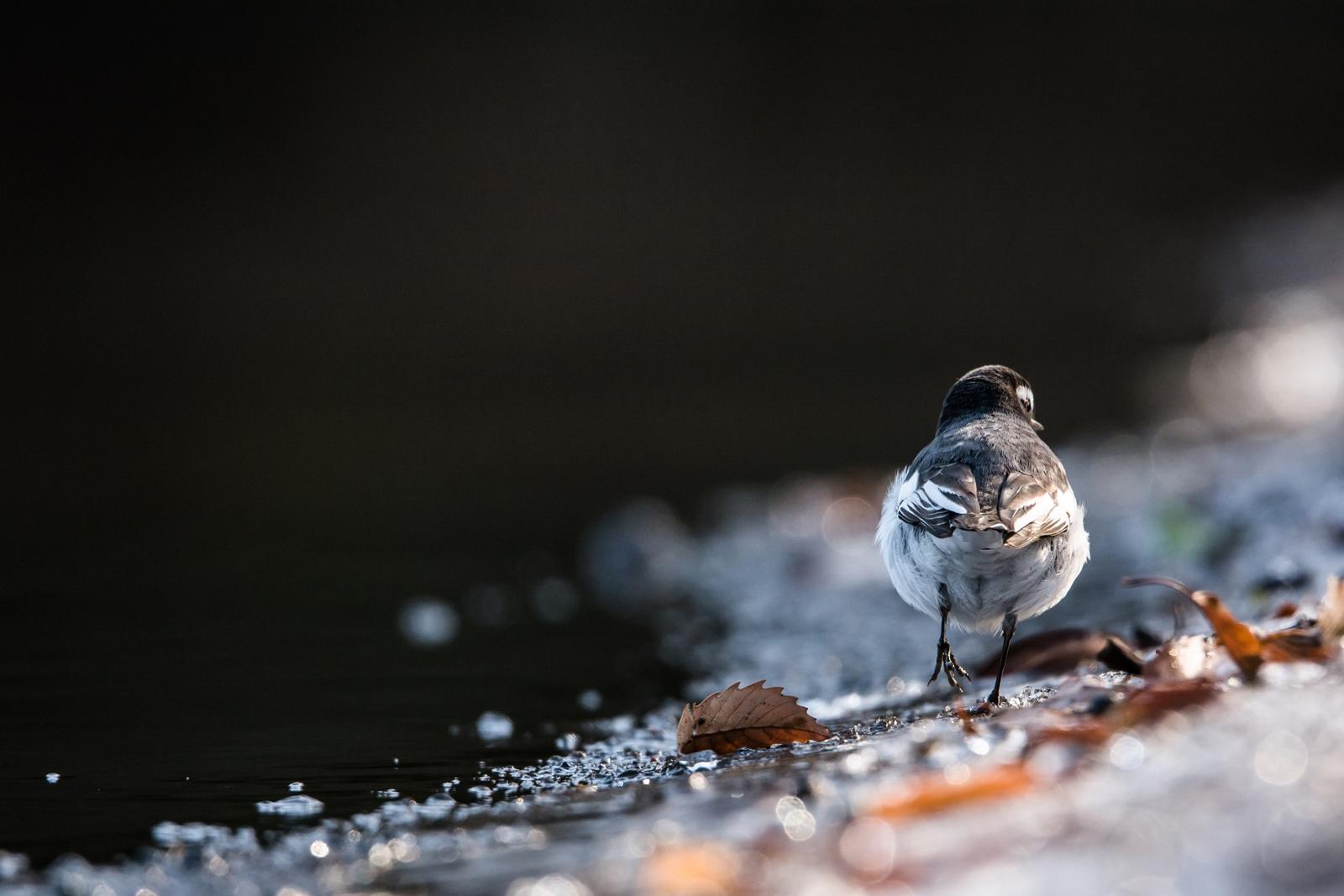 Photo: 黒色の時を抜けて Exit the darkness of time.  夜が明けて 周囲を光が満たしていく 黒色の時が終わり 先へと道が開けていく  Japanese Wagtail. (セグロセキレイ) #cooljapan #365cooljapanmay #birdphotography #birds #kawaii #sigma #JPCOGallerySpring2015 #日本の写真文化を海外へ  Nikon D7100 SIGMA 150-600mm F5-6.3 DG OS HSM Sports [ Day265, February 1st ]  -------------------------------------------------------- ★お知らせ① / Notice - 1 ★  何度がご紹介させていただいていますが、 いよいよ写真展の開催まで10日となりました!  準備も着々と進み、 公式ページやイベントページも立ち上がっています。 私も参加させていただいている 「日本の写真文化を海外へプロジェクト(JPCO)」の 会員31名の展示となります。 自分も一部の作品は目にしていますが、 とても素晴らしい作品が揃っています☆ 商業写真発祥の地である横浜を舞台に 海外へと日本の写真文化の素晴らしさを発信できるような 魅力ある展示となると思います! また素敵なゲスト作家さんも参加されていますので、 この機会に足を運んでいただき たっぷりと楽しんでいただけたらと思います。  『JPCO Gallery Spring 2015 / 日本の写真文化を海外へ』 < http://islandgallery.jp/10839 >  会期:2月11日(水)~22日(日) 11:00~19:00 (最終日は16:00まで) 会場:みなとみらい駅前サブウェイギャラリーM (https://www.mm21railway.jp/reservation/) ゲスト作家:田中長徳さん 坂崎幸之助さん(THE ALFEE) 高崎勉さん 山本高裕さん  この展示に合わせて行われるコンテスト 『JPCO Gallery Spring 2015 女子フォトコンテスト』 の入賞者3名の作品も会場で展示します。  2月11日(水・祝)には、 オープニングレセプションも開催します。 17:00-18:00 / 入場無料 予約不要 (レセプションの模様はYouTubeに保存されます)  「フォト・ヨコハマ2015」 < http://www.photoyokohama.com/ >  FaceBookイベントページ < https://www.facebook.com/events/341646709377353/ >  +日本の写真文化を海外へプロジェクト/Japanese Photo Culture to Overseas (JPCO)  私の在廊予定は現在のところ以下の予定です。 11日(水・祝) : 終日 14(土) 15(日) : 13:00~19:00 22(日) : 13:00~16:00  ------------------------------------------------------ ★お知らせ② / Notice - 2 ★  こちらも先日お伝えしましたが、 みなとみらいで開催されるCP+2015では マルマンさんのブースで 私の作品が2点、 見本展示として使用していただけることとなりました。 マルマンさんの取り扱っている 『Canson Infinity(キャンソン・インフィニティ)』という とても素敵なフォトペーパー、 その12シリーズが並び、 色の乗りや質感など、 見比べるのもとても楽しいと思います♪ ぜひぜひこちらにも訪れ見ていただけたら幸いです。  「CP+2015」 < http://www.cpplus.jp/ > 会期:2月12日(木)~15日(日) 10:00~18:00 (最終日は17:00まで) 会場:パシフィコ横浜  「マルマンFacebookページ」 < http://goo.gl/aW6Vag >  「キャンソン インフィニティ」 < http://goo.gl/SRWg9I > ------------------------------------------------------
