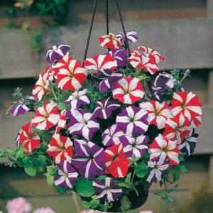 Hoa Dạ yến thảo sọc