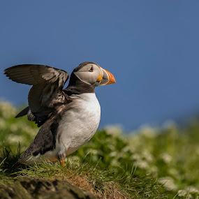Puffin by Ronnie Bergström - Animals Birds ( bird, hornöya, fly, grass, blue, wings, green, hornøya, flowers, landscape, puffin, norway )