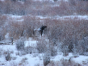 Photo: Moose #1 along Highway 191 at Porcupine Trail