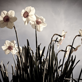 Dark Daffodils by Shaun Groenesteyn - Novices Only Flowers & Plants ( flora, plants, trees, daffodils, flowers, spring, flower )