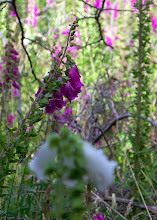 Photo: Digitalis in bloom