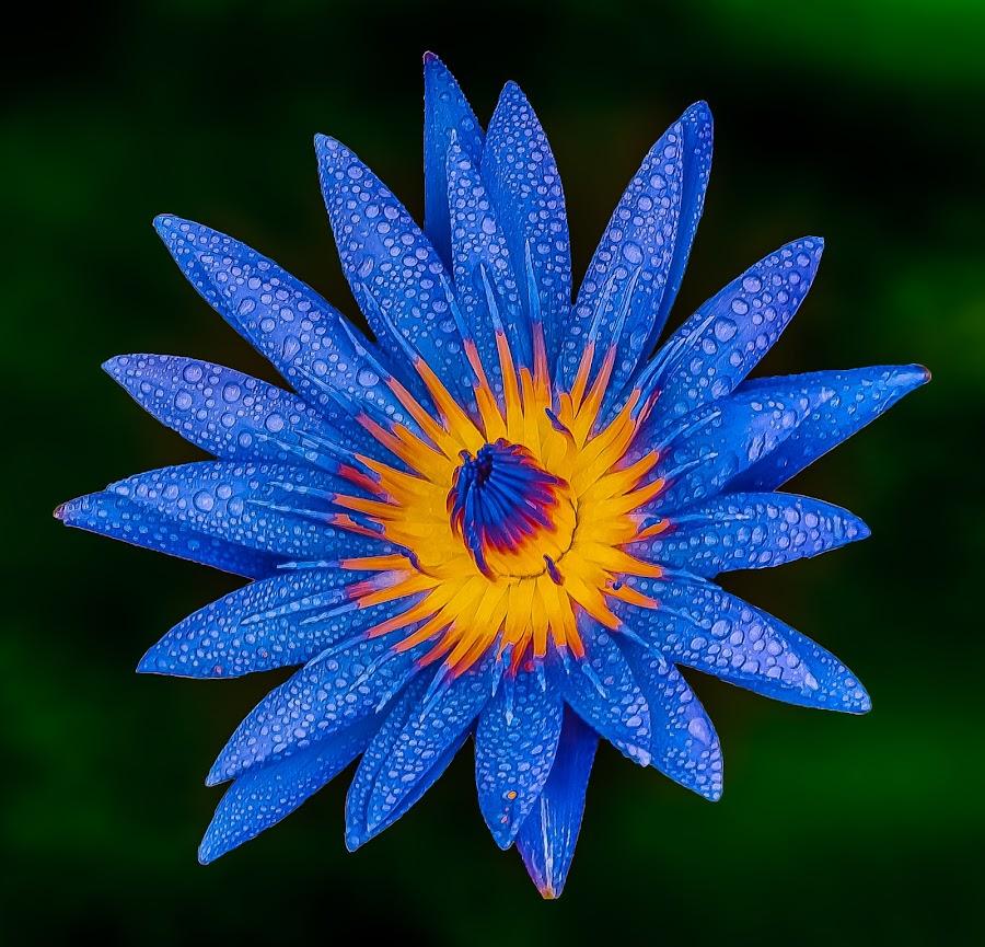 by Reneboy Bautista - Flowers Single Flower