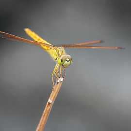 Brachythemis contaminata by Deny Afrian Wahyudi - Animals Insects & Spiders ( dragonfly, outdoor, biodiversity, species, animals )