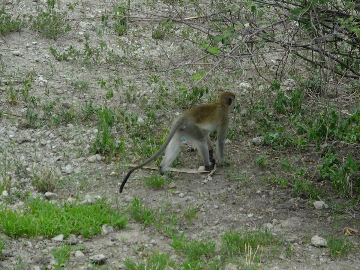 Vervet aka blue ball monkey