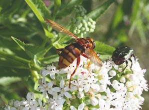 Photo: Milesia crabroniformis  Diptera  > Syrphidae