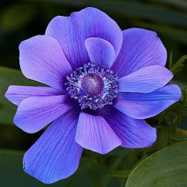 0 Poppy 9754~ by Raphael RaCcoon - Flowers Single Flower