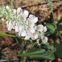 Tincture plant