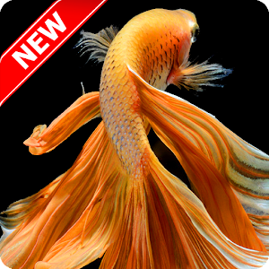 Betta fish wallpaper android apps on google play for Siamese fighting fish crossword
