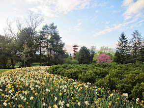 Photo: Lookout tower and daffodils at the end of the day at Cox Arboretum in Dayton, Ohio.
