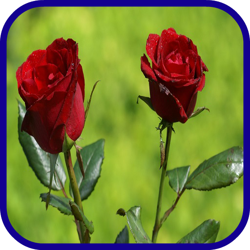 tulip rose wallpaper