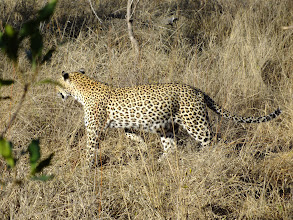 Photo: A fantastic leopard sighting: Sabi Sands is one of the best places in South Africa to see the elusive leopard.