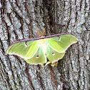 Luna moth ( male )