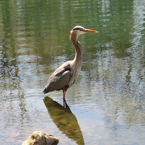 Heron by Marcia Taylor - Novices Only Wildlife (  )