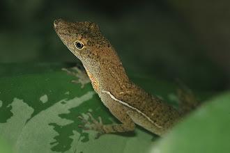 Photo: 7 Norops polylepis, Esquinas Rainforest (08°42´/-83°12´), 02.07.2008, Author & det. Erwin Holzer