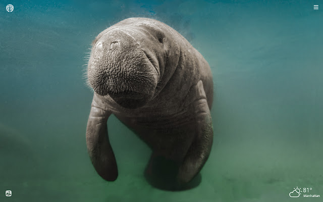 Manatee HD Wallpapers New Tab Theme