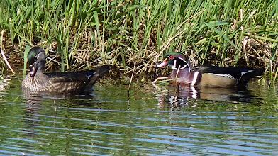 Photo: Pair of Wood Ducks