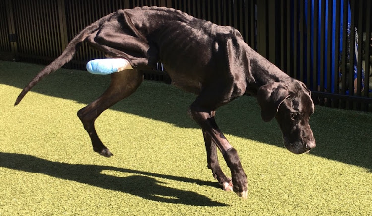 Luke the great dane was so starved he ate his own leg.