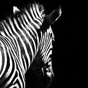 the zebra by Aritra De - Novices Only Wildlife