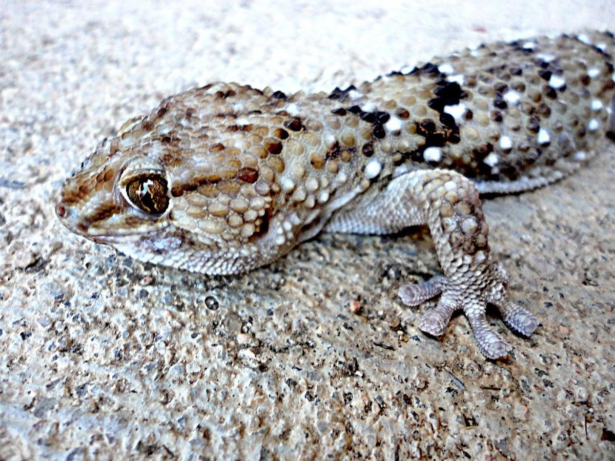 Bibron's Gecko