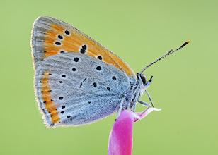 Photo: Lycaena Dispar, Cuivré Des Marais, Large Copper  http://lepidoptera-butterflies.blogspot.com/
