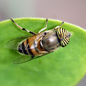 Band-eyed Hoverfly