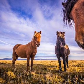 The Four Horses by Derek Kind - Animals Horses ( icelandic, icelandic horses, equine, horses, corner, horse, photobombing, looking, photobomb, iceland, staring, icelandic horse, 2012, four, standing )