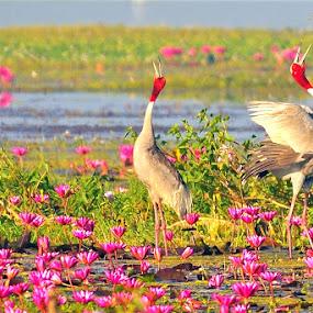 Pair of sarus crane - Love by Vijay Singh Chandel - Animals Birds ( bird, love, music, lotus, sarus, pixoto, lovebirds, dance, birds, romance )