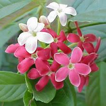Photo: Jasmim da India ( Quisqualis indica )