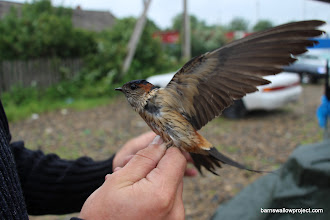 Photo: Red-rumped swallow (Hirundo daurica) I've also seen this all the way in Turkey and Israel