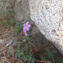 Fremont Geranium