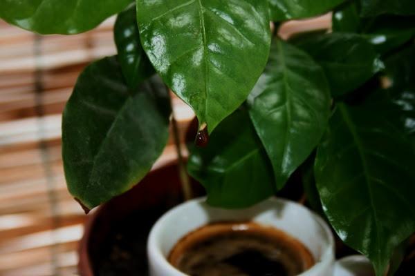 Dalla coffea ...al coffee di bluebird