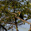 Wreathed Hornbill